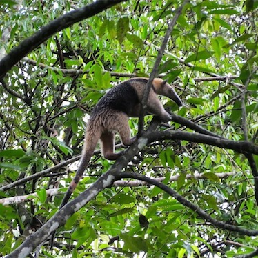 Anteater Rio Dulce